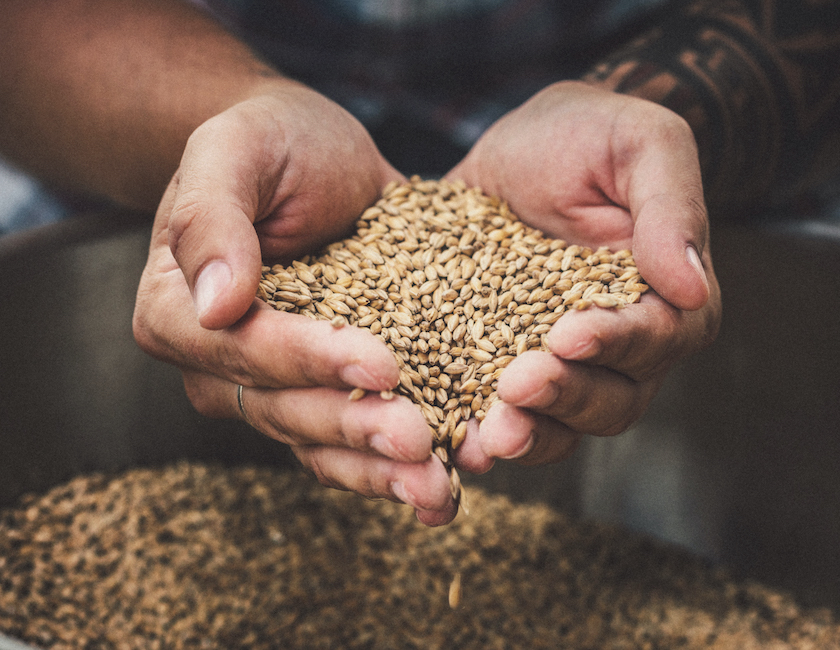man holding grains for brewing beer